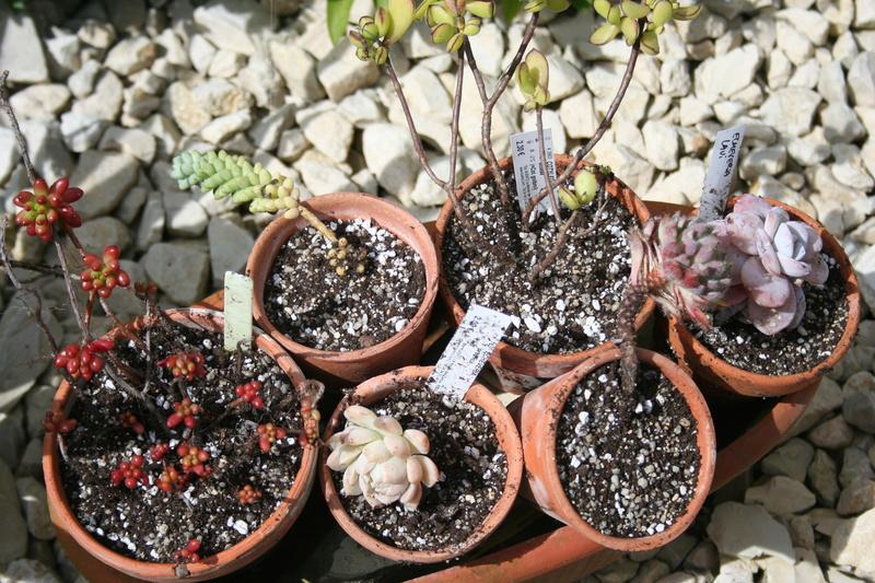 succulentes rempotées !!  Img_3242