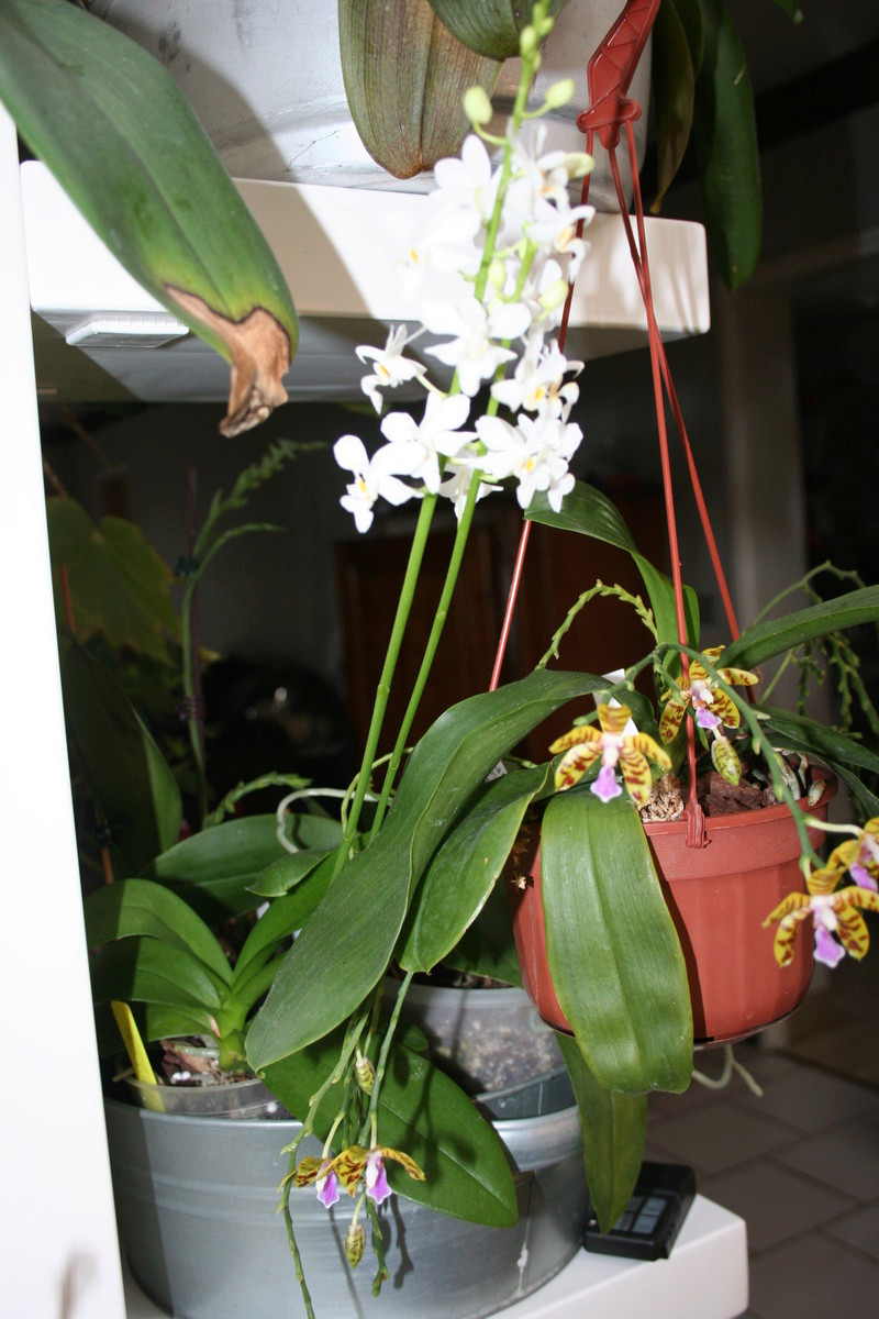 doritaenopsis blanc Img_3311