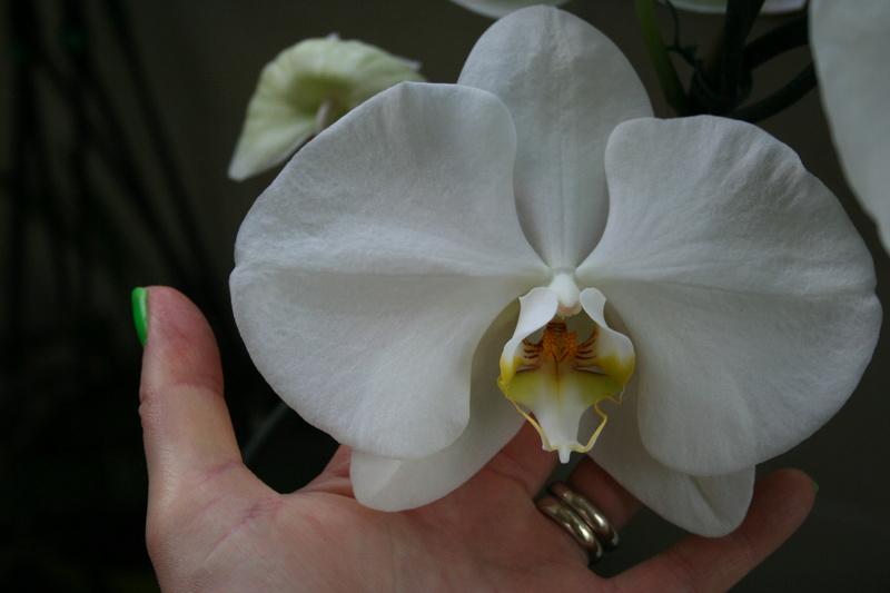 phalaenopsis blanc a fleurs enooooooooormes - Page 3 Img_3317
