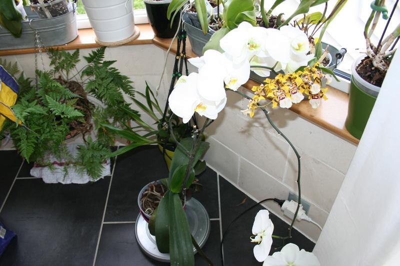 phalaenopsis blanc a fleurs enooooooooormes - Page 3 Img_3318