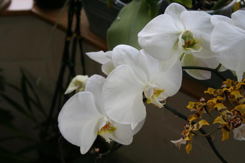 phalaenopsis blanc a fleurs enooooooooormes - Page 3 Img_3319