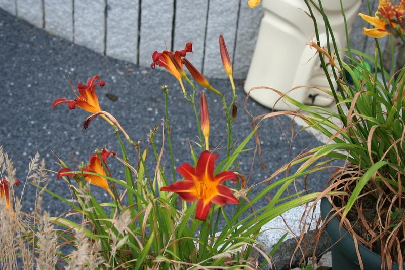 qq fleurs du jardin Img_3325