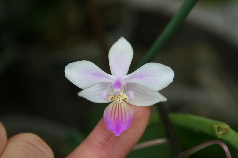 phalaenopsis venus (equestris x lindenii) Img_3327