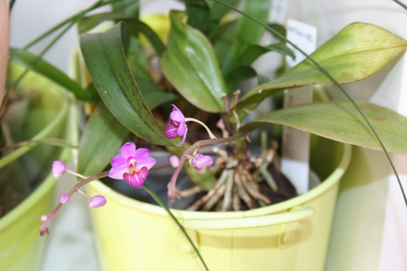 phalaenopsis San shia appendo blue Img_3329