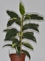 H.multiflora vs. javanica Multif11