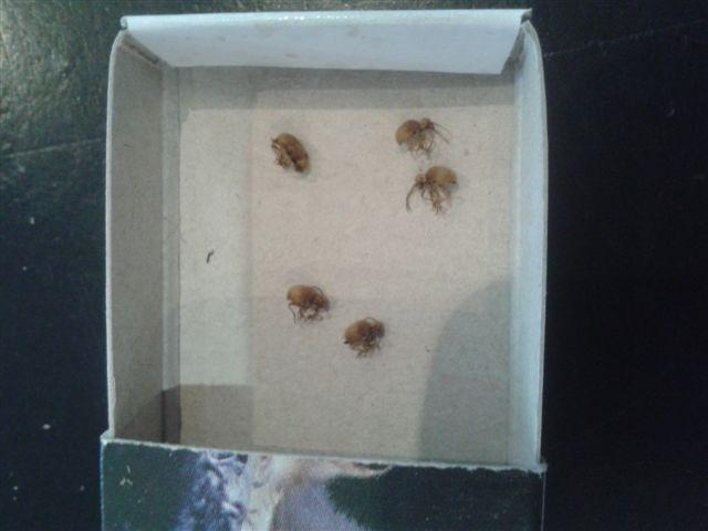 Identification petit insecte dans un appartement 20121010