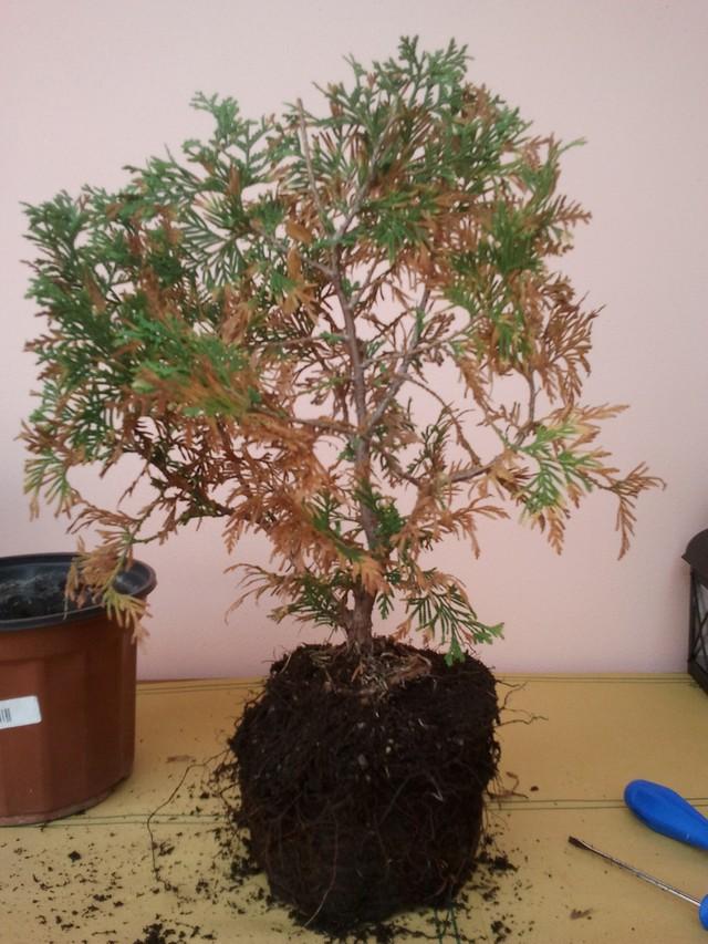 (credo) TUIA apparentemente in punto di morte....tentativo di rianimazione a uso palestra bonsai 2012-110