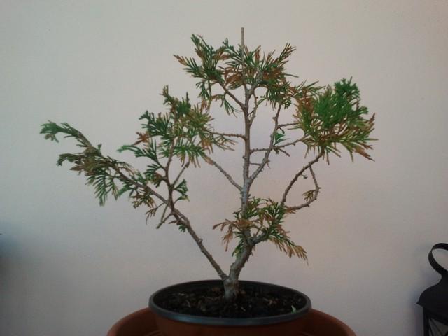(credo) TUIA apparentemente in punto di morte....tentativo di rianimazione a uso palestra bonsai 2012-112