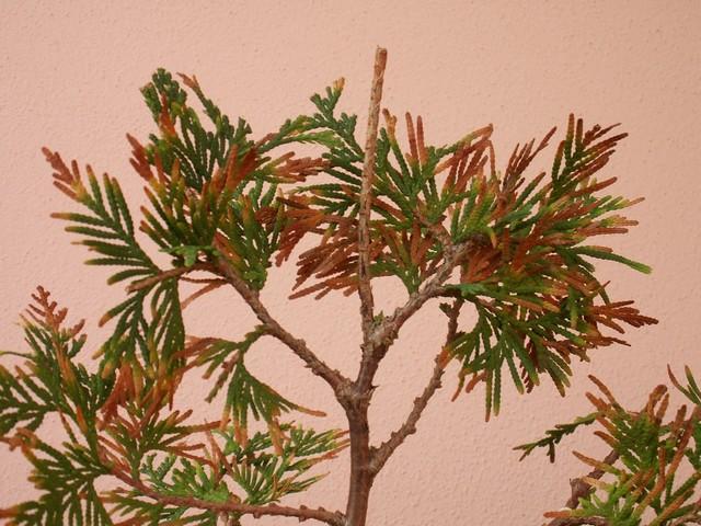 (credo) TUIA apparentemente in punto di morte....tentativo di rianimazione a uso palestra bonsai Pict0018