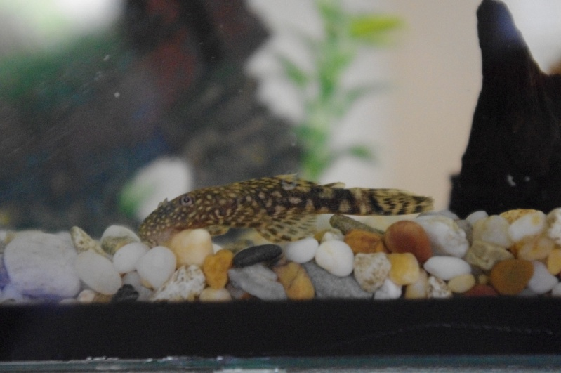 My first ever Bristlenose! Imgp3410