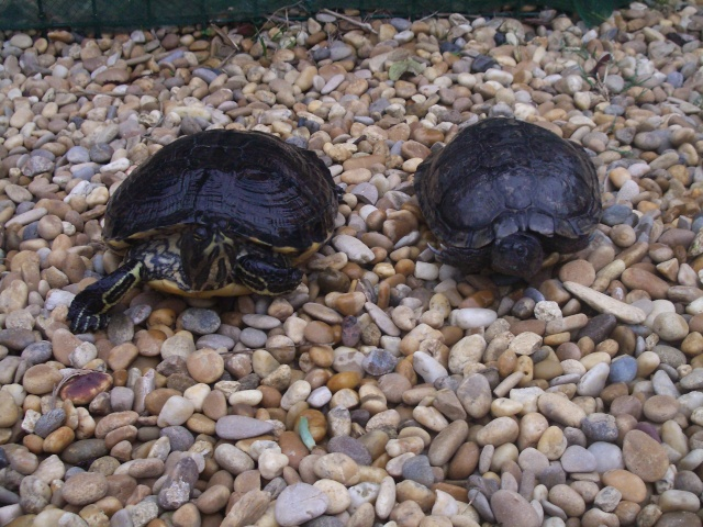 identification tortue trouvée 17_oct10