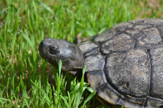 identification tortue trouvée Dsc_0010