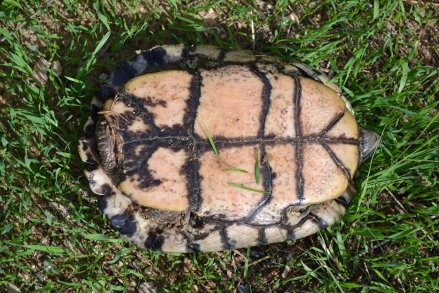 identification tortue trouvée Dsc_0012