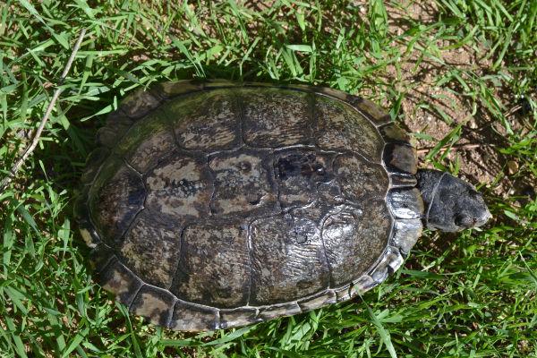 identification tortue trouvée Dsc_0013
