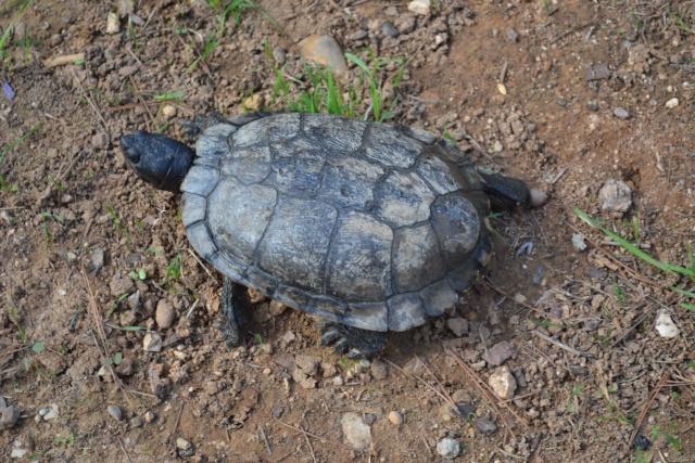 identification tortue trouvée Dsc_0015