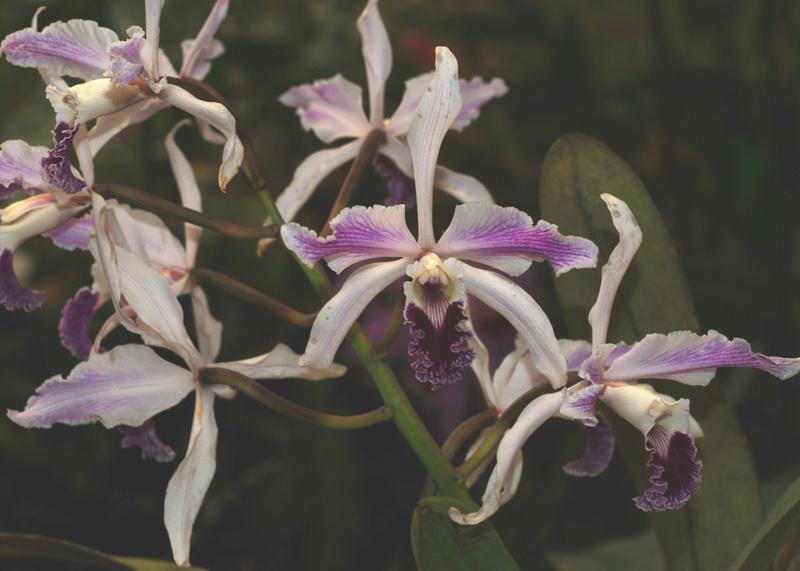 Cattleya (Laelia) crispa 02510
