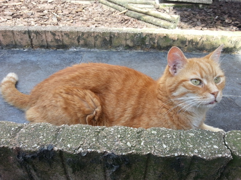 DARWIN, magnifique chat roux, né en avril 2006. 20130812