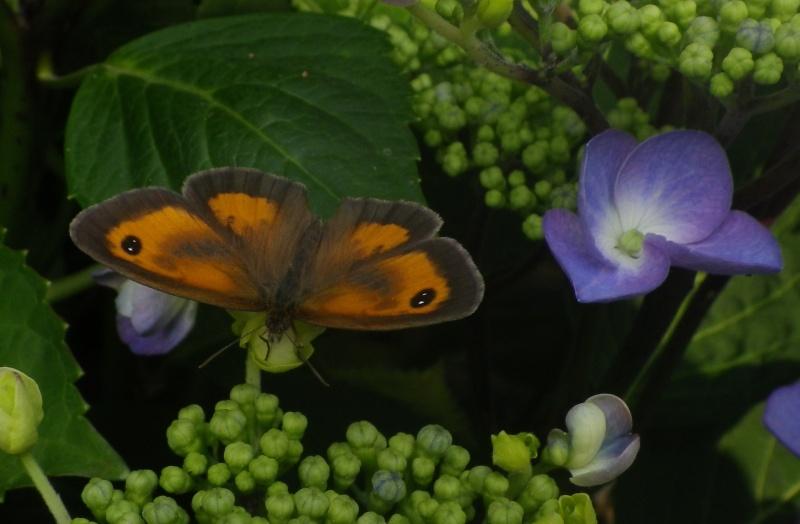 papillons sur nos fleurs  - Page 3 Imgp0210
