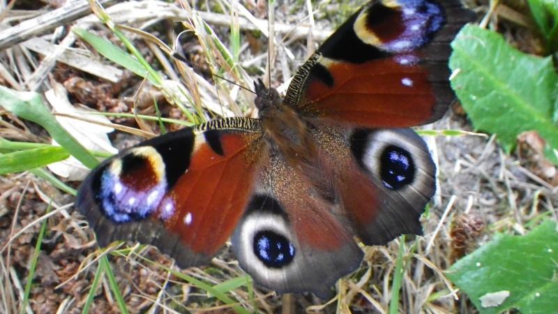 papillons sur nos fleurs  - Page 3 Imgp0710