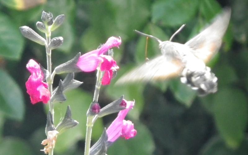 papillons sur nos fleurs  - Page 3 Imgp0810