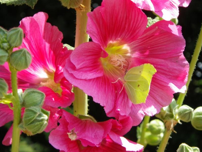 papillons sur nos fleurs  - Page 3 Imgp0811