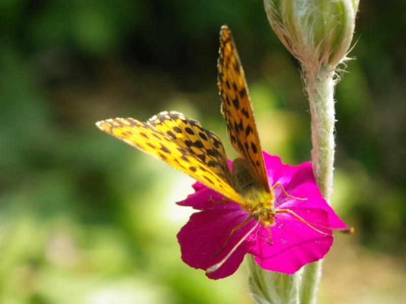 papillons sur nos fleurs  - Page 3 Imgp0910