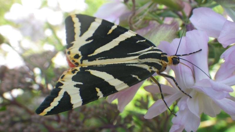 papillons sur nos fleurs  - Page 3 Imgp1610