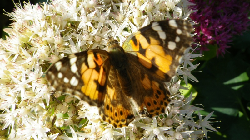 papillons sur nos fleurs  - Page 3 Imgp2710