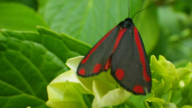 papillons sur nos fleurs  - Page 3 Imgp6810
