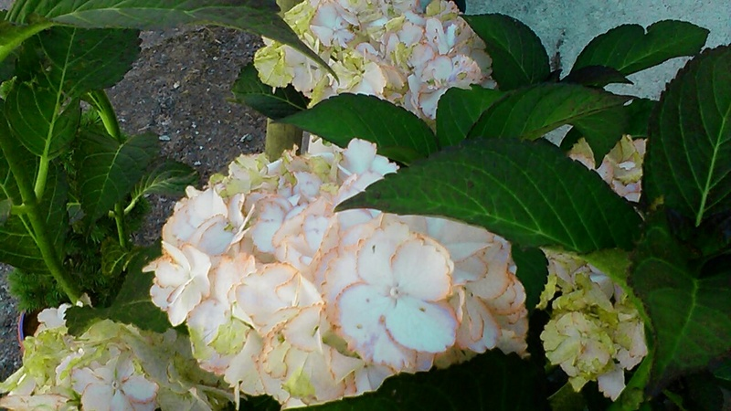 hortensia - Page 31 P_201614