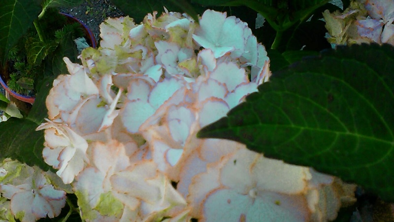 hortensia - Page 31 P_201615