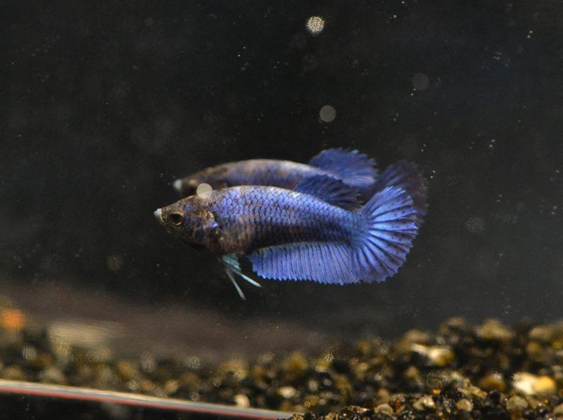 HMVL BF Bleu Roi * HMVL Bleu Acier - Page 2 12809510
