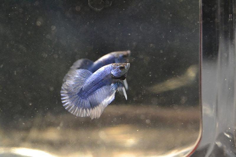 HMVL BF Bleu Roi * HMVL Bleu Acier - Page 2 19140510