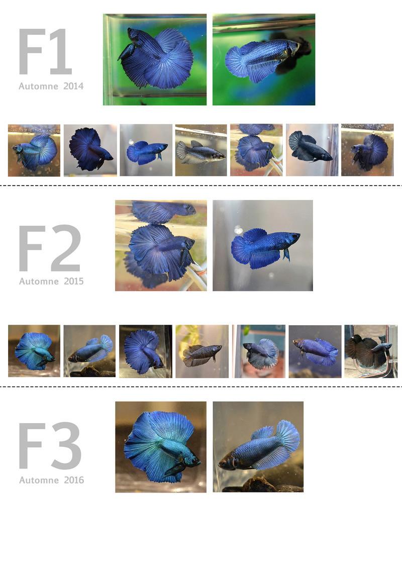 F3 - Lignée VL bleu HM/DT Lignei10