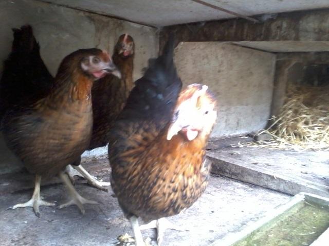 forum agri-occitanie, poules pondeuses