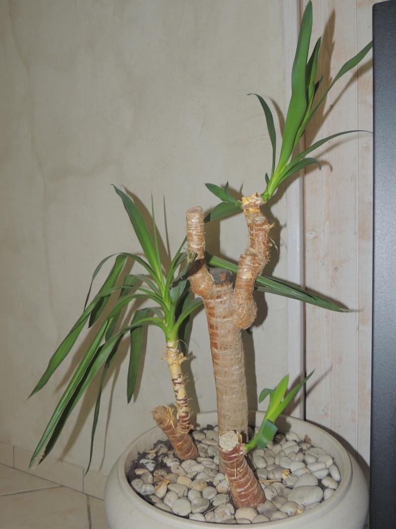 ajouter des branches à un yucca Yucca_10