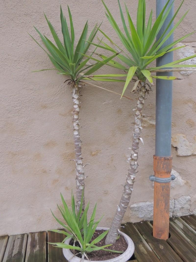 ajouter des branches à un yucca Yucca_11
