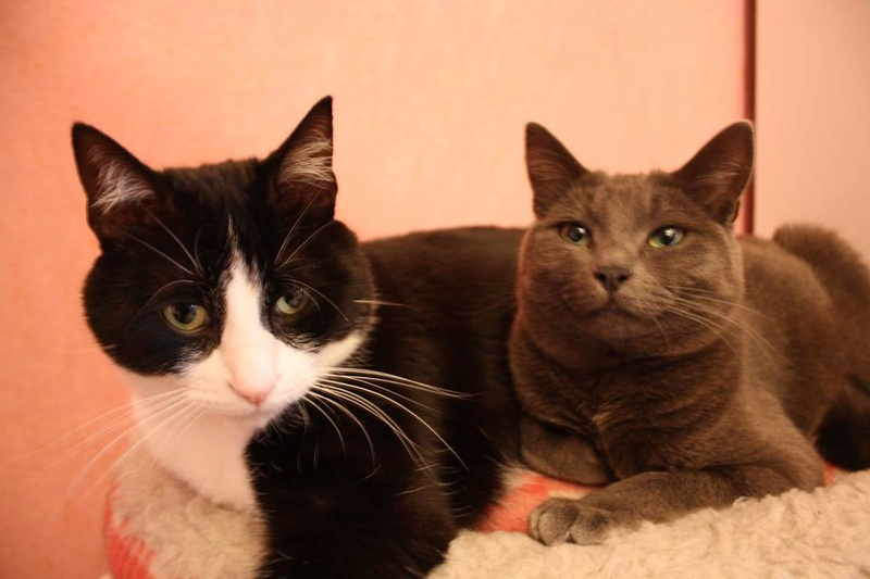 numerobis - NUMEROBIS chat noir et blanc 2 ans FIV+(The Pattounes Gang) 13700010