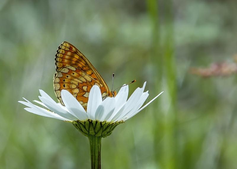 papillons sur nos fleurs  - Page 3 18912310