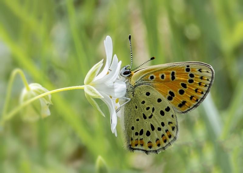 papillons sur nos fleurs  - Page 2 Lycaen10