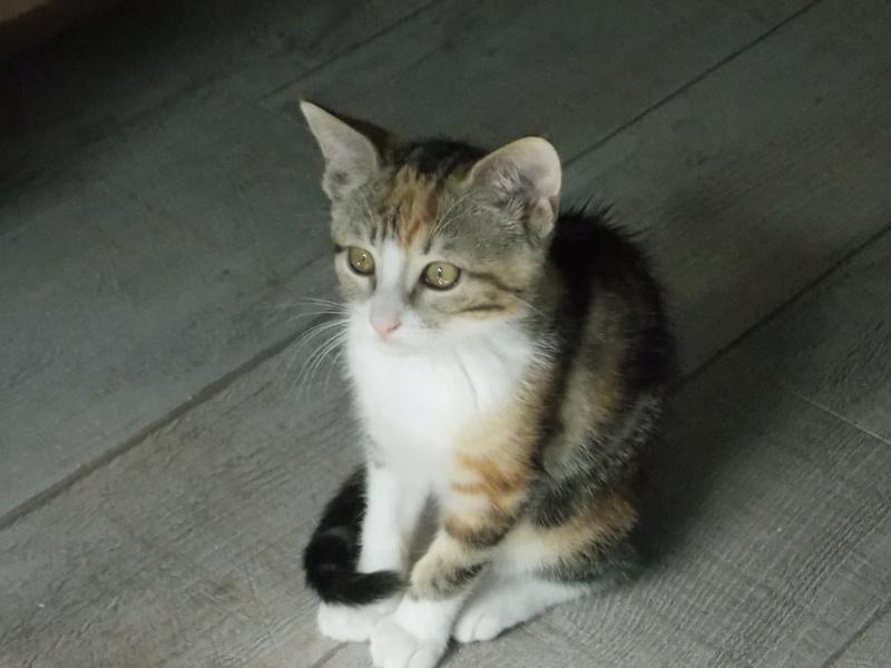maeva - Maeva, chatonne tricolore, née le 20/05/2016 01410