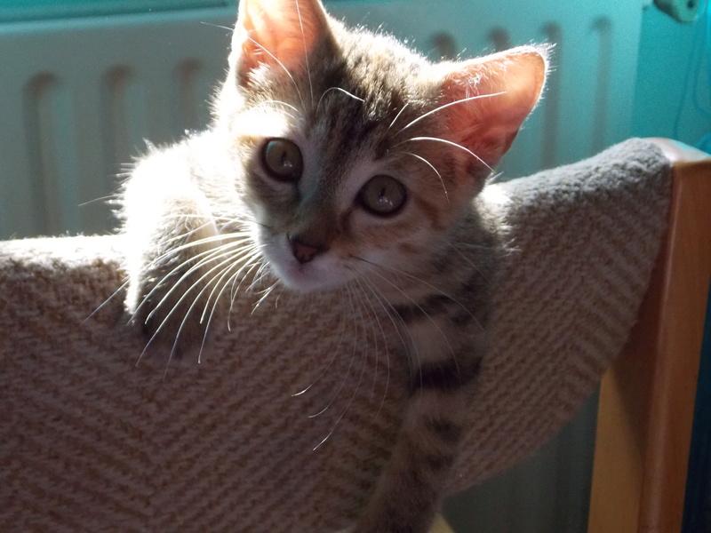 mangue - Mangue, chatonne tigrée tricolore, née le 20/05/2016 02710