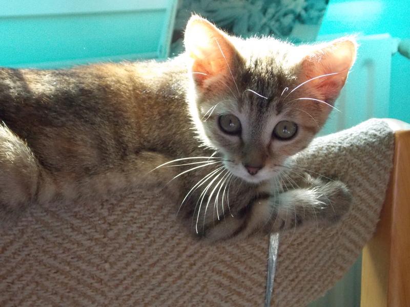 mangue - Mangue, chatonne tigrée tricolore, née le 20/05/2016 03010
