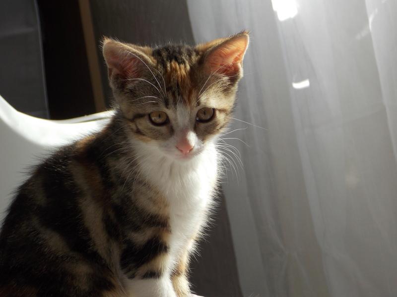 maeva - Maeva, chatonne tricolore, née le 20/05/2016 04011