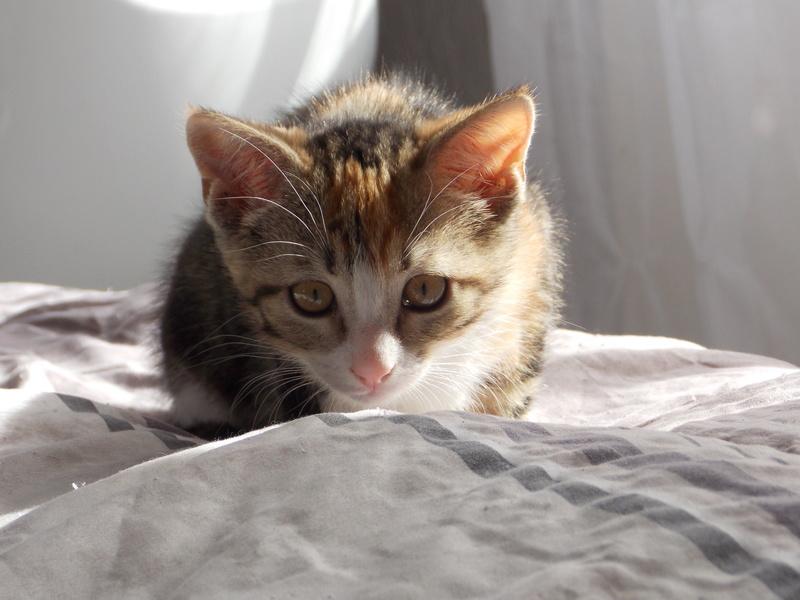maeva - Maeva, chatonne tricolore, née le 20/05/2016 04110