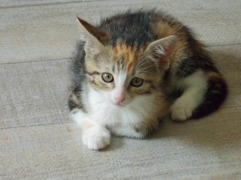 maeva - Maeva, chatonne tricolore, née le 20/05/2016 05310