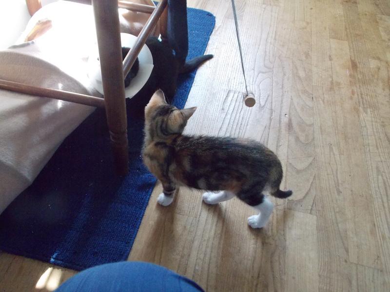 maeva - Maeva, chatonne tricolore, née le 20/05/2016 06710