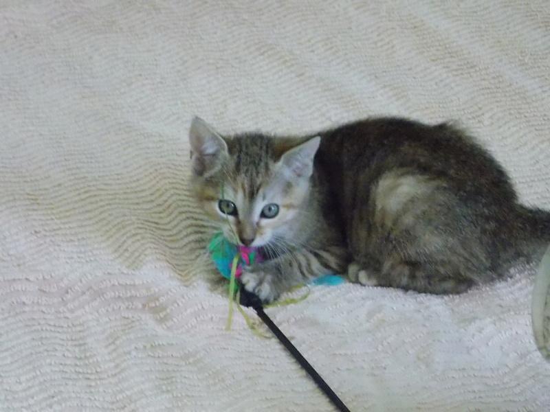 mangue - Mangue, chatonne tigrée tricolore, née le 20/05/2016 07410