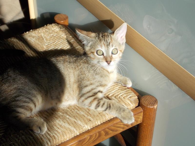 mangue - Mangue, chatonne tigrée tricolore, née le 20/05/2016 08910