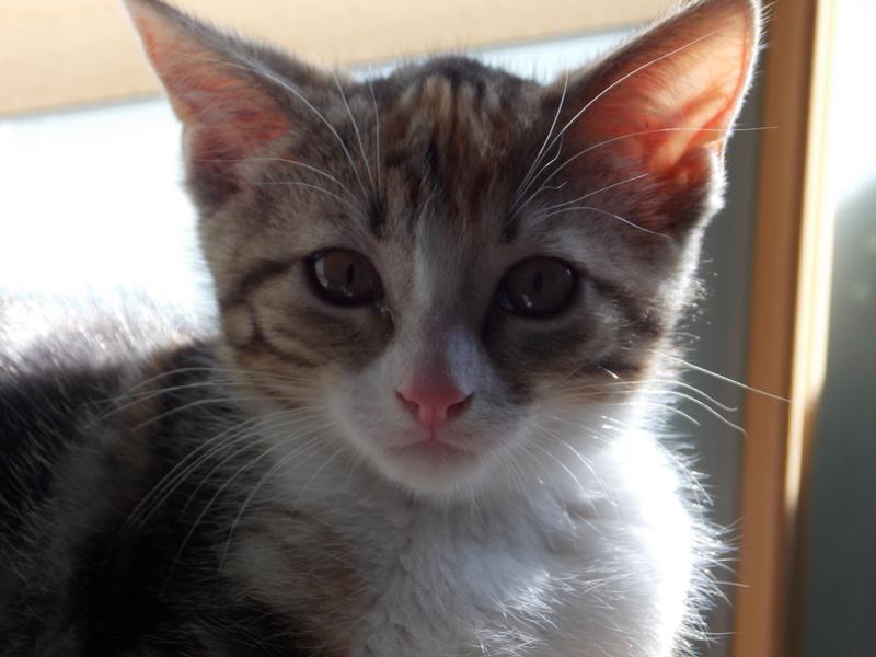 maeva - Maeva, chatonne tricolore, née le 20/05/2016 11310